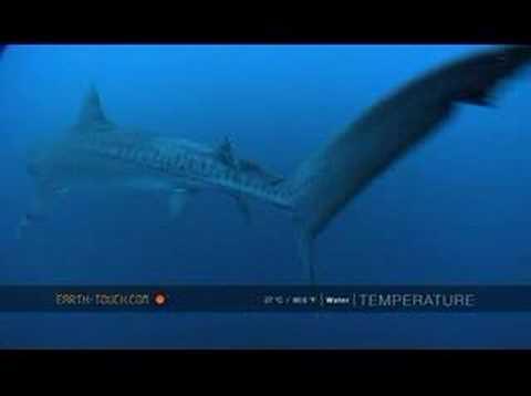 Shark season begins at Aliwal Shoal