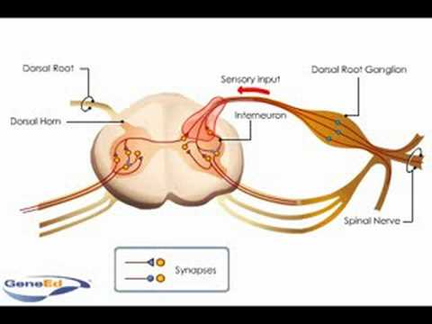 Spinal Cord Anatomy and Innervation