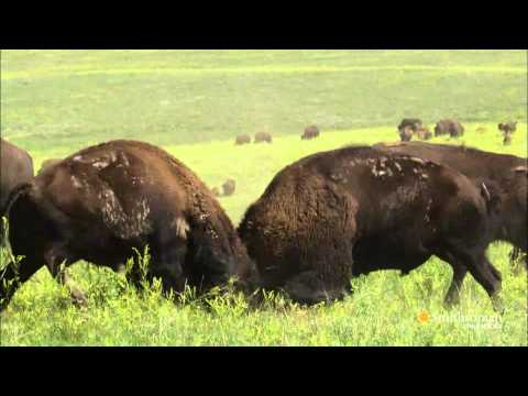 Kings of the Prairie - Kings of the Prairie - Battle of The Bison