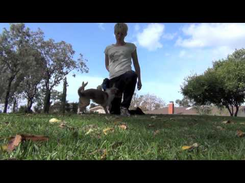 Dog Does Cartwheel- clicker dog training tricks