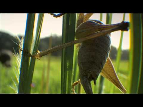 NATURE | My Life as a Turkey | In Search of a Grasshopper | PBS