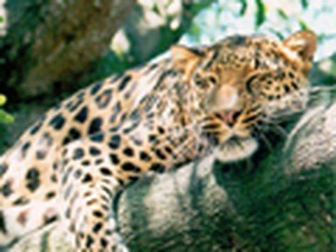 Meet the LEOPARDS of Big Cat Rescue!