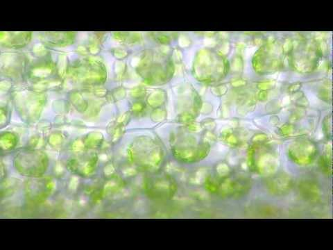 Isolation of Chloroplast (Amrita University)