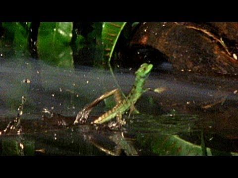 World's Deadliest - Meet the Jesus Christ Lizard
