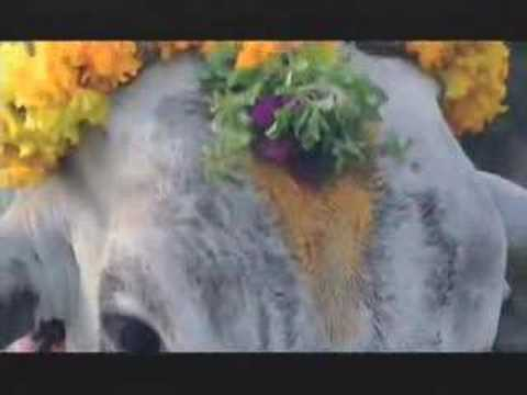 "NATURE ""Holy Cow"" 