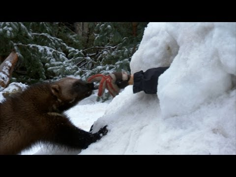 Wolverine to the Rescue!