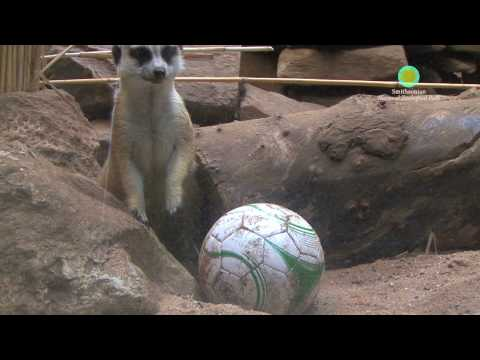 Small Mammals at Smithsonian's National Zoo Gear Up for the 2010 World Cup
