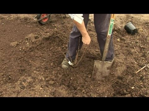 How To Learn Planting A Fruit-Bearing Shrub