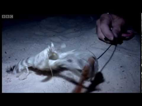 Mantis shrimps - Deadly 60  - BBC