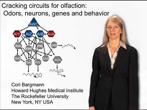 Cori Bargmann (Rockefeller) Part 2: Cracking the circuits for olfaction