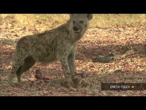 Wild dogs tear prey limb from limb