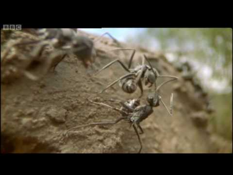 Ants - Attenborough: Life in the Undergrowth - BBC
