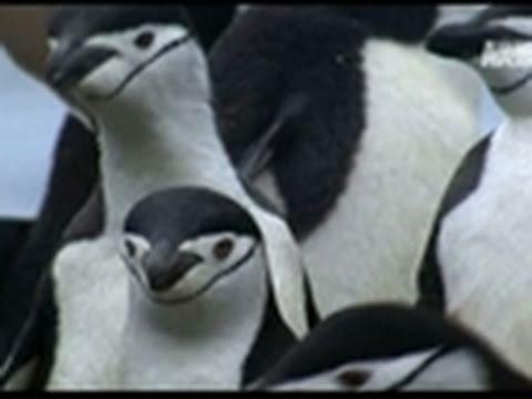 Wild Kingdom- Leopard Seal Devours Penguin