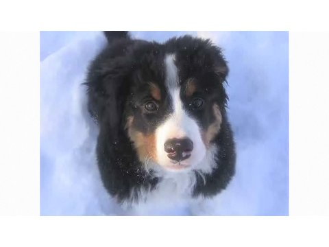 Understanding Dog Breeds: Bernese Mountain Dog