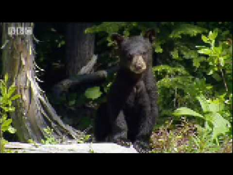 Bear Feeding Overdrive - Bears on the Black Run - BBC wildlife