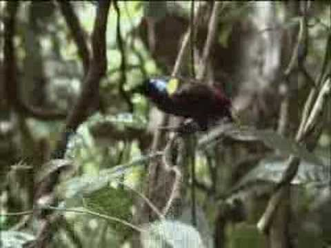 David Attenborough finds the rare exotic Wilson's bird of paradise  - BBC wildlife