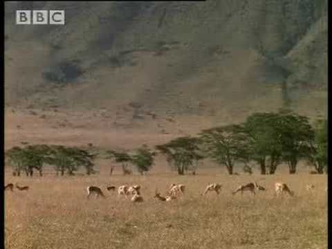 BBC:Hunting Rodents - 5 Big Cats and a Camera