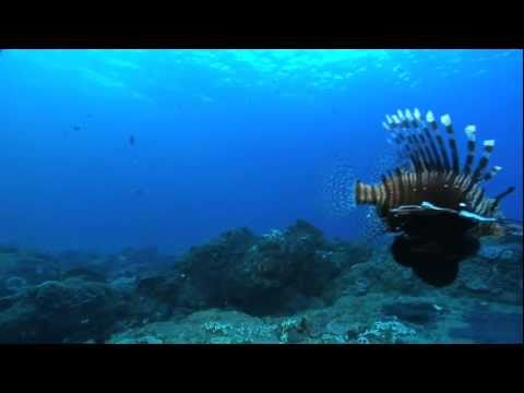 Lionfish & endangered turtle on coral reef