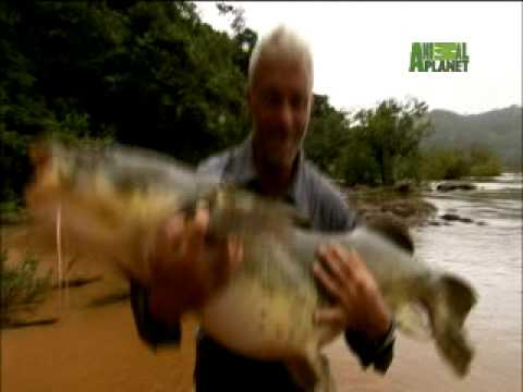 River Monsters - Muscular Amazon Catfish