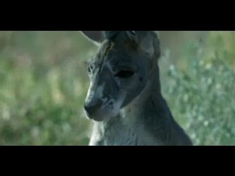 Parasite Plague - Big Red Roos - BBC