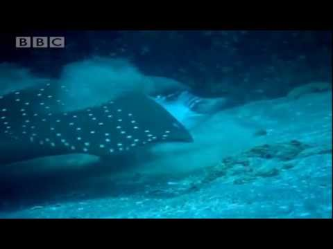Spotted Eagle Rays - Galapagos - BBC