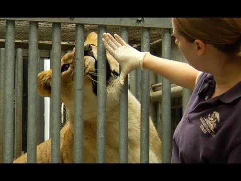 Behind The Scenes: Lions at Woodland Park Zoo