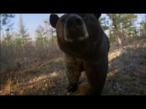 Mutual of Omaha's Wild Kingdom - Black Bear Scent Marking