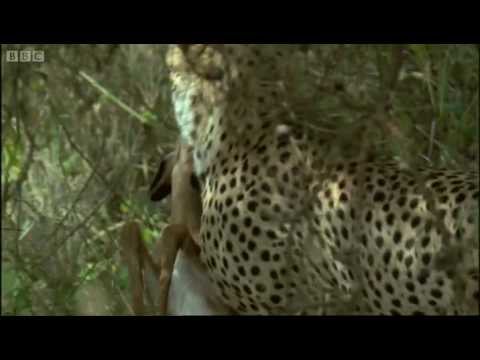Young cheetahs attack young antelope - Cheetahs - Fast Track to Freedom - BBC