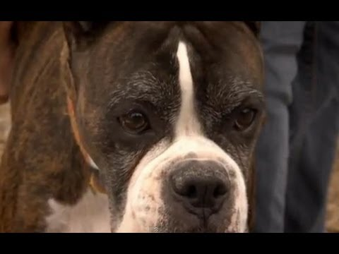 Fighting disease - Horizon: The Secret Life of the Dog - BBC