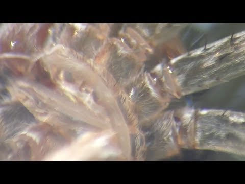 SUPER MACRO LENS DIY Aquatic Snails eats an ant gastropods Blood Worms Spider Exoskeleton