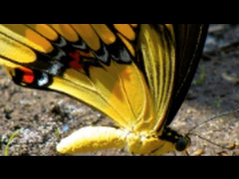 GIANT Swallowtail Butterfly mineral siphoning and butterfly pee slow motion HD 1080p
