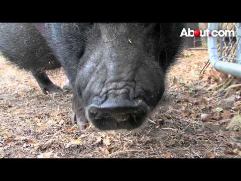 How to Keep Pot Bellied Pigs as Pets