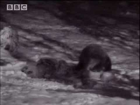 BBC: Transylvania - Living With Predators - Winter Bears & Wolves
