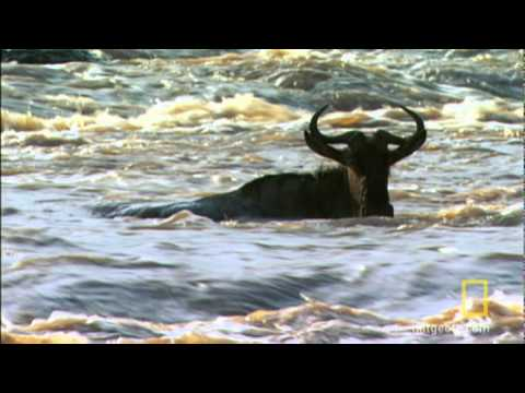 Wildebeest Left Behind