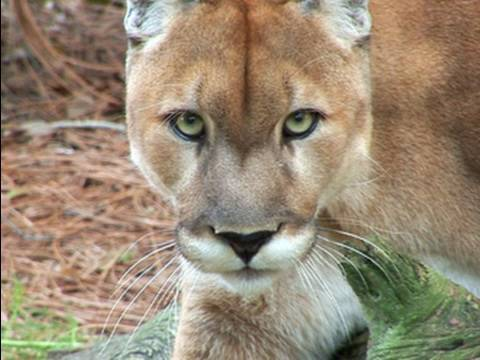Mountain Lion Species Spotlight