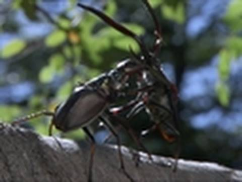Life - Darwin's Beetle Tosses Rivals | Insects