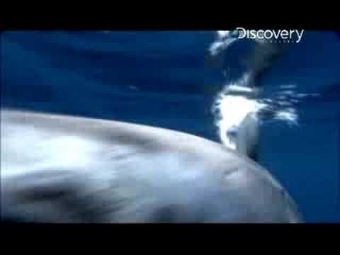 Shark Week- Mako Shark Skin