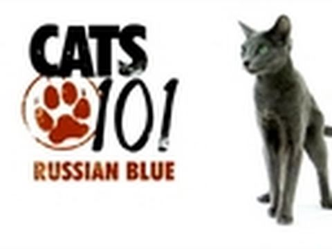 Cats 101 - Russian Blue