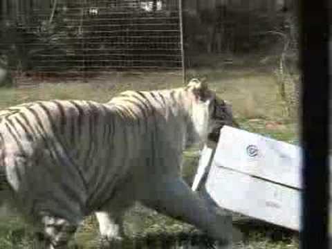 A SPECIAL TOUR (Lions Tigers Cougars)- Big Cat TV