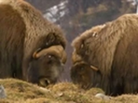 Viking Wilderness - Muskox High Speed Collision