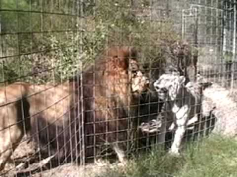 White Tiger surgery part 2 - Big Cat TV