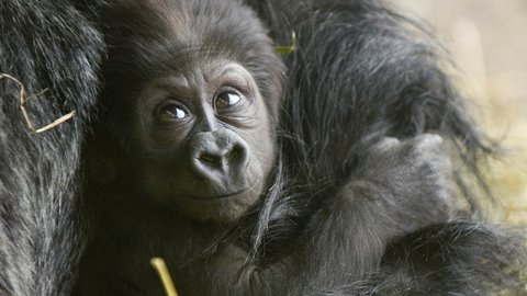 Cute Baby Gorilla's first steps