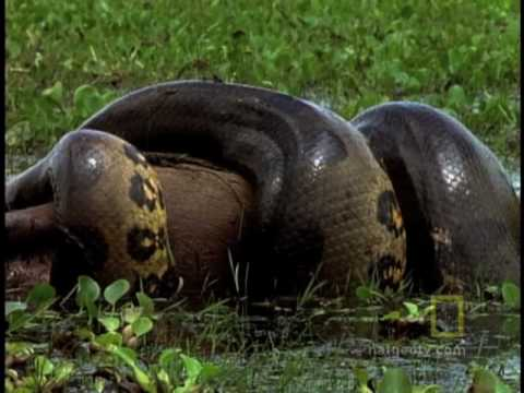 Anaconda Stalks World's Largest Rodent