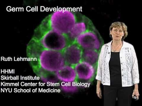 Ruth Lehmann Part 1: Germ Cell Specification