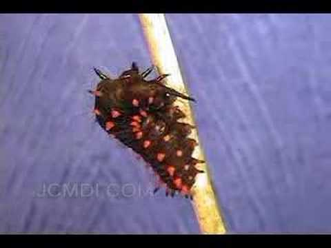 Swallowtail Butterfly Larva Spins Loop (Time Lapse)