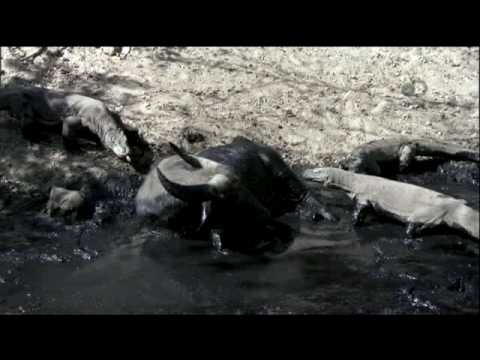 Life- Behind the Scenes   Komodos
