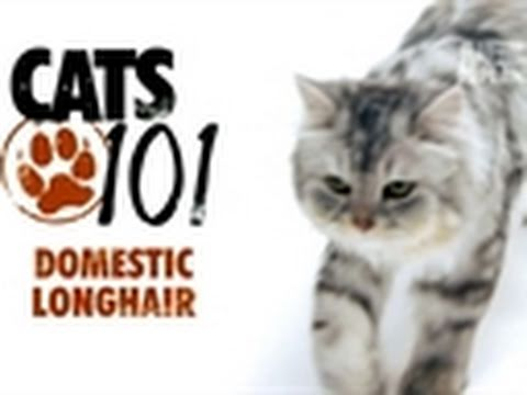 Cats 101- Domestic Longhair