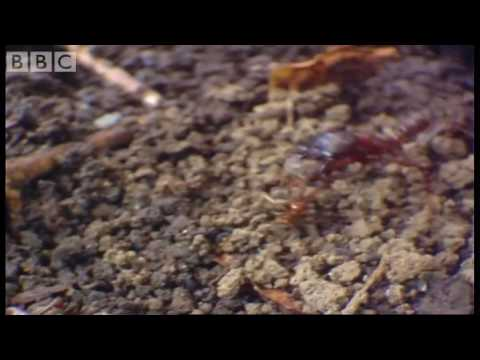 Tiny driver ants Vs red ants - Ant  Attack - BBC wildlife