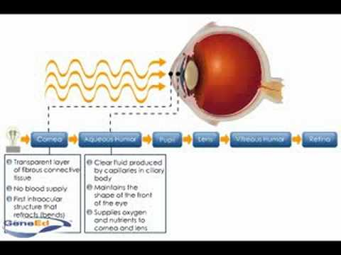 Physiology of the Cornea