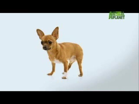 Dogs 101: Chihuahua